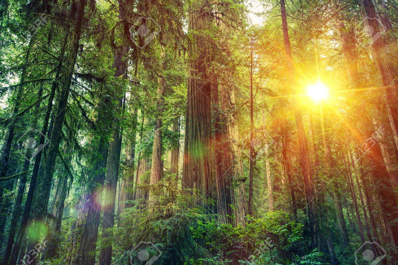 Scenic Forest Sunset. Redwood Forest Landscape. California United States - 62488412