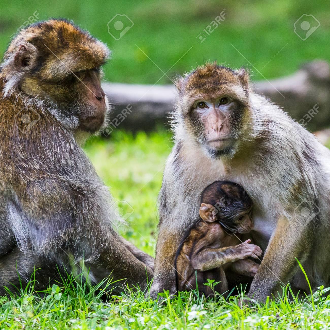 林床にバーバリ Macaques、マカ...