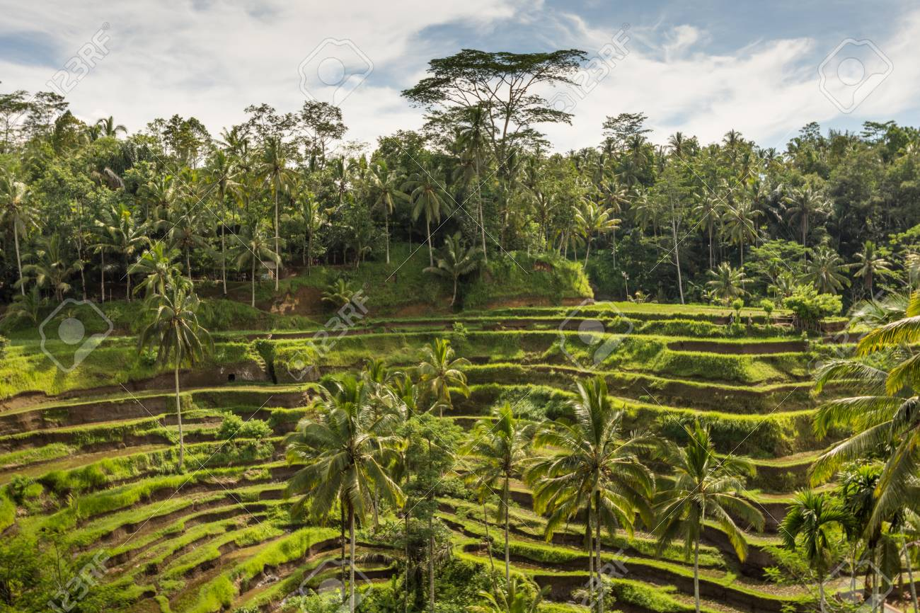 Padi Terraza Bali Indonesia Plantación Local De La Terraza De Arroz En Capas En La Isla De Bali Indonesia