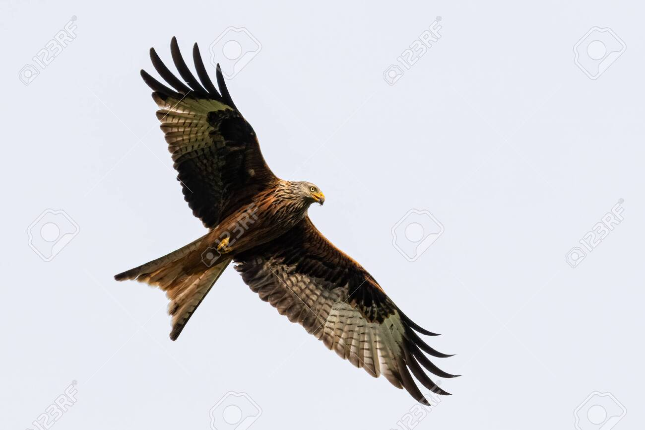 Portrait of a red kite (milvus milvus) in flight with spread wings and blue background in germany retschow mecklenburg vorpommern - 150171355