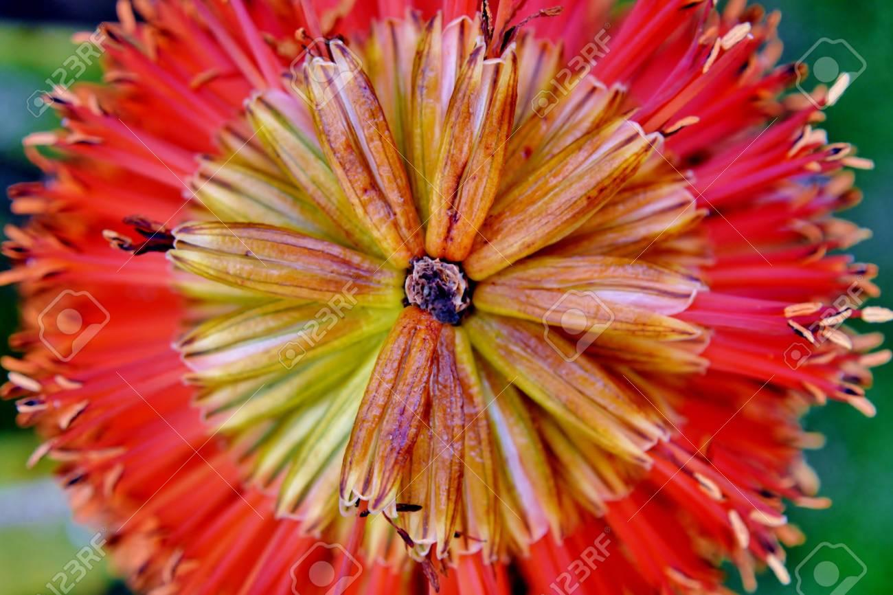 Gros Plan De La Fleur D Aloe Vera Dans La Lumiere Du Soleil Banque D