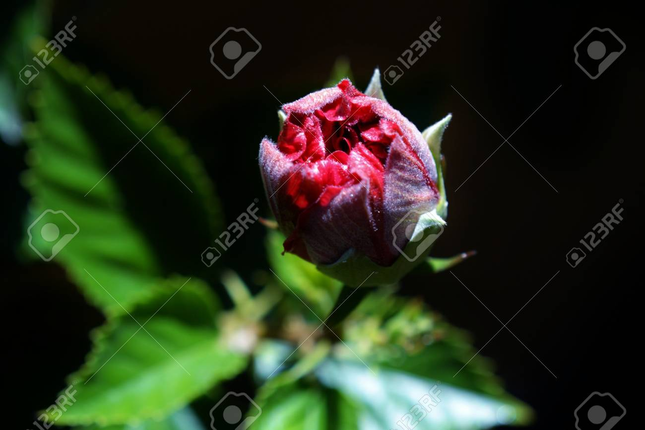 Close up of pink hibiscus flower bud in sunlight stock photo close up of pink hibiscus flower bud in sunlight stock photo 18961502 izmirmasajfo