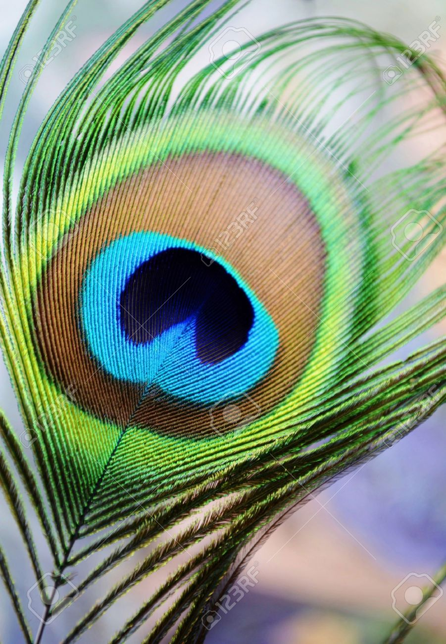 close up of colorful peacock feather stock photo picture and rh 123rf com peacock feather peacock feather aj