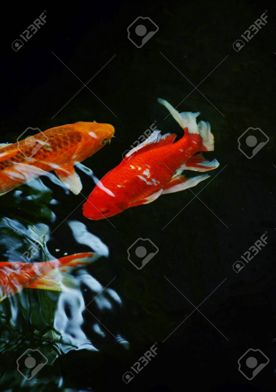 Colorful ornamental koi fish in pond Stock Photo - 27855418