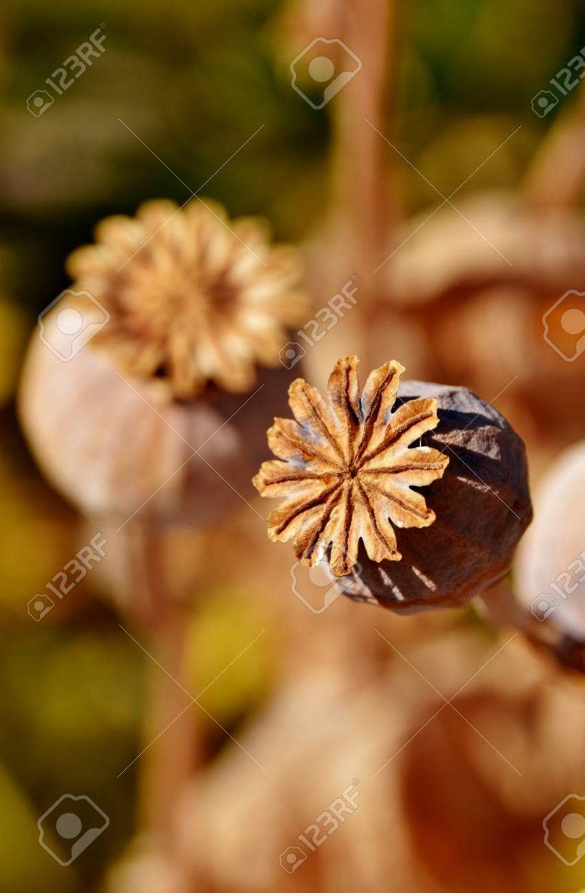 Close Up Of A Poppy Seed Pod Stock Photo Picture And Royalty Free