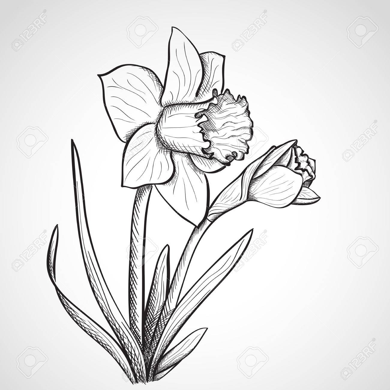 Jonquil Flower Drawing Sketch Daffodil Hand Drawn