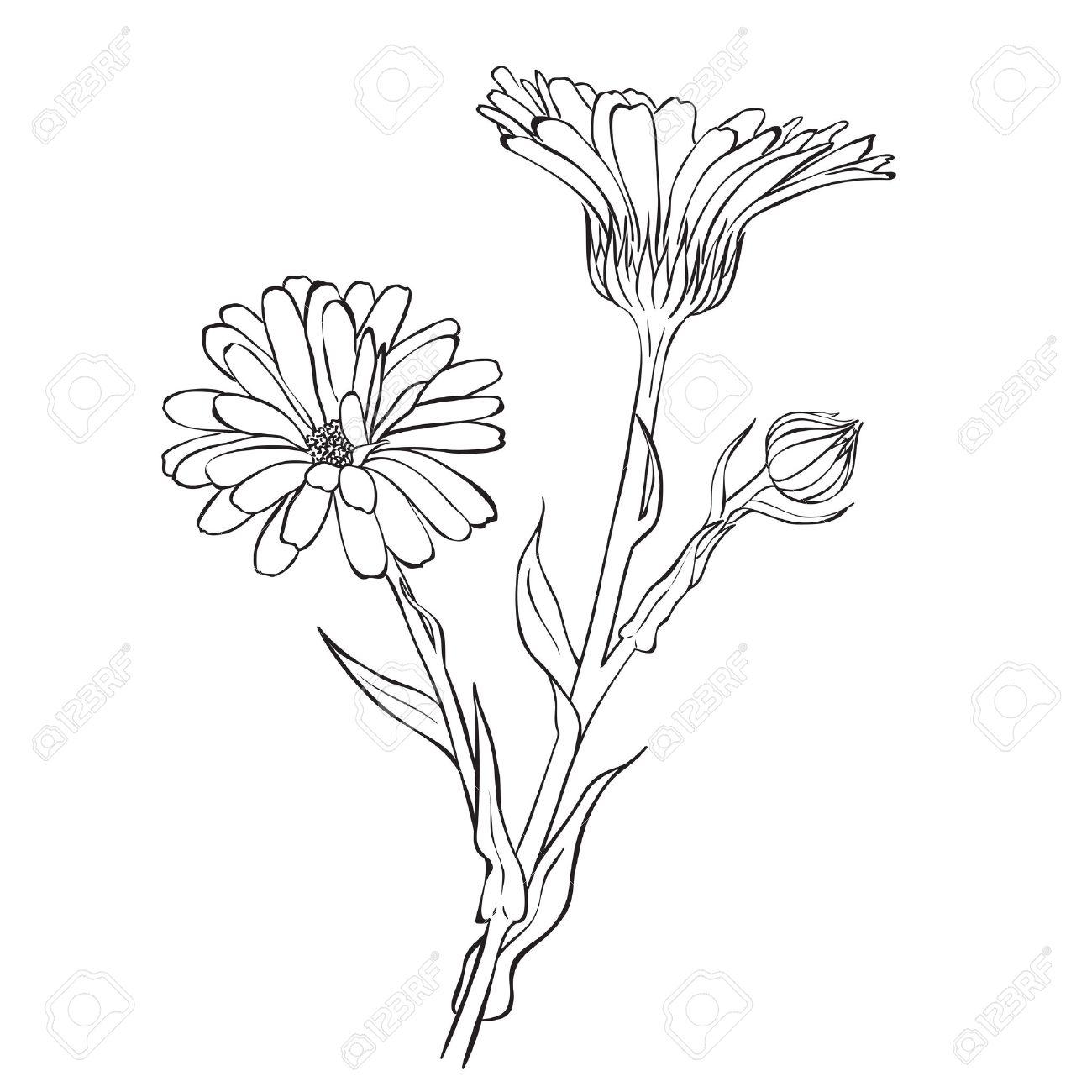 Main Fleurs Dessinees Officinalis De Calendula Ou Souci Dessin De