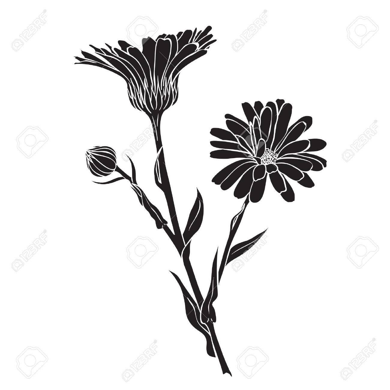 Hand drawn flowers - Calendula officinalis or pot marigold silhouette - 36312825