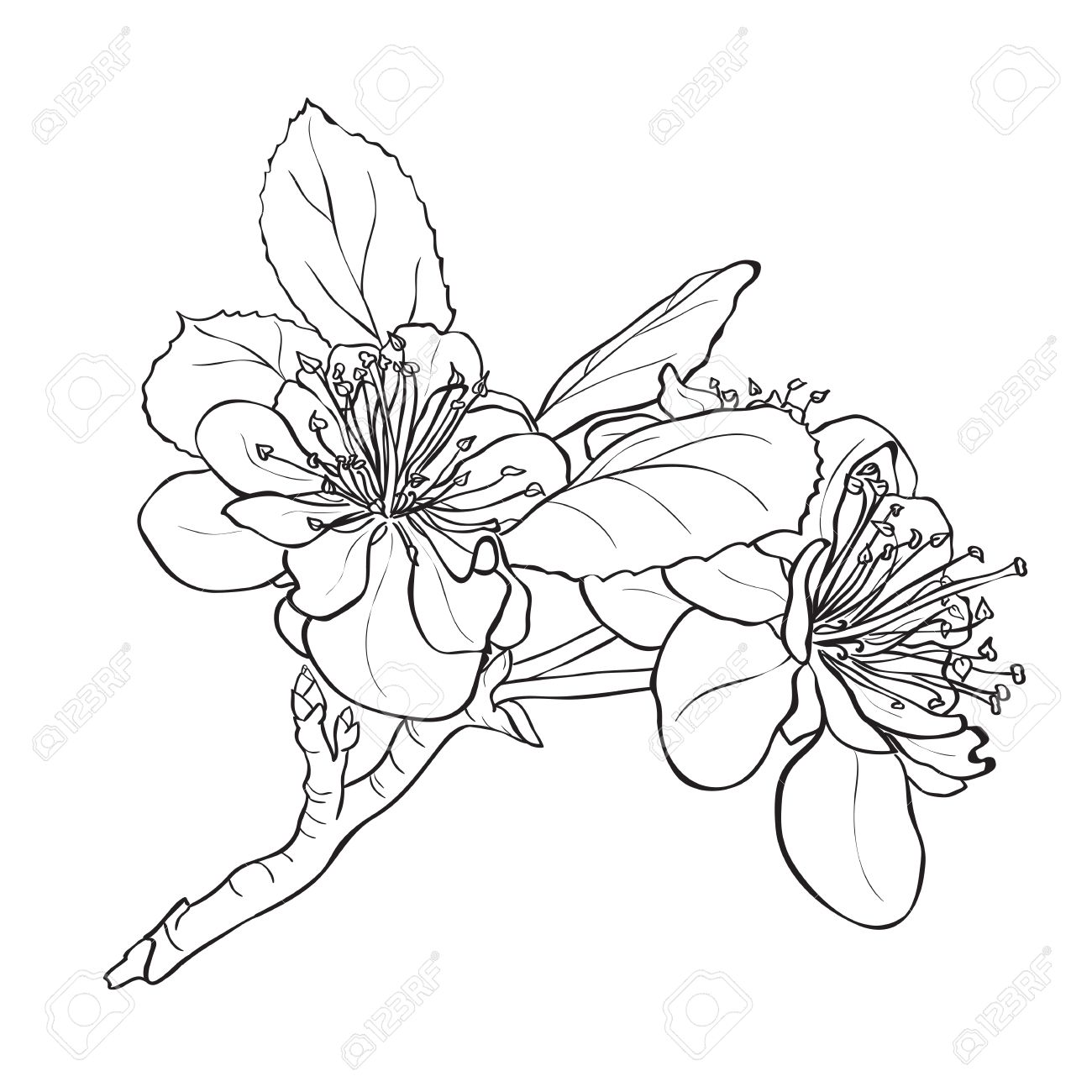 Flower - cherry blossoms drawing. Ink style vector - 37195557