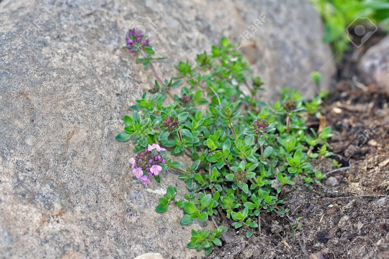 Thymus Serpyllum Bekannt Als Breckland Thymian Im Garten