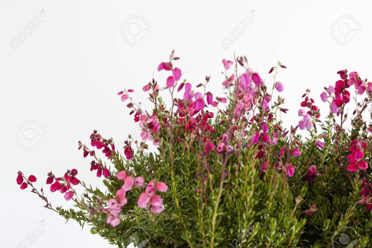 Bell Heather Flower Against White Backgroundclose Up Stock Photo