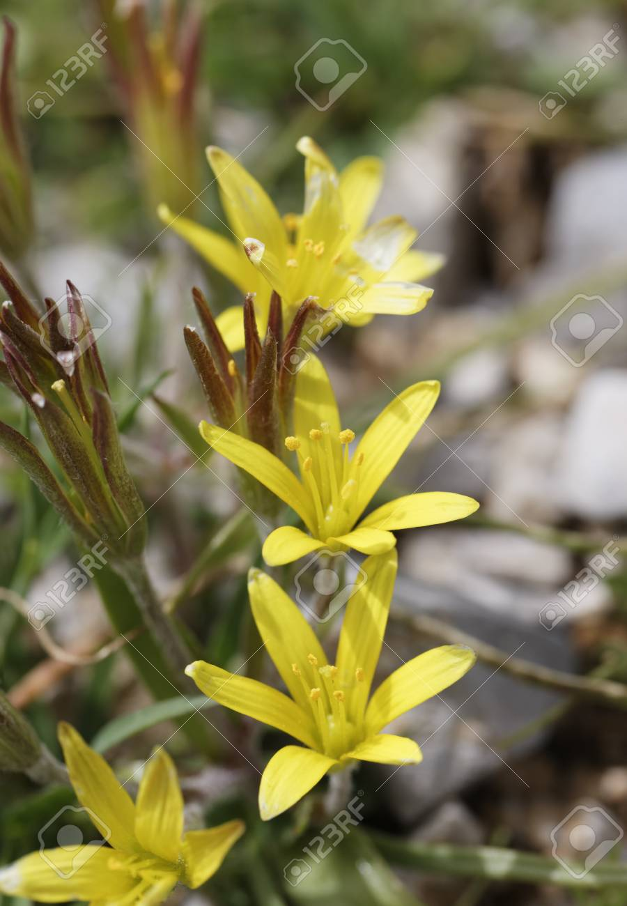 Turkeyyellow Star Tube Flowersclose Up Stock Photo Picture And