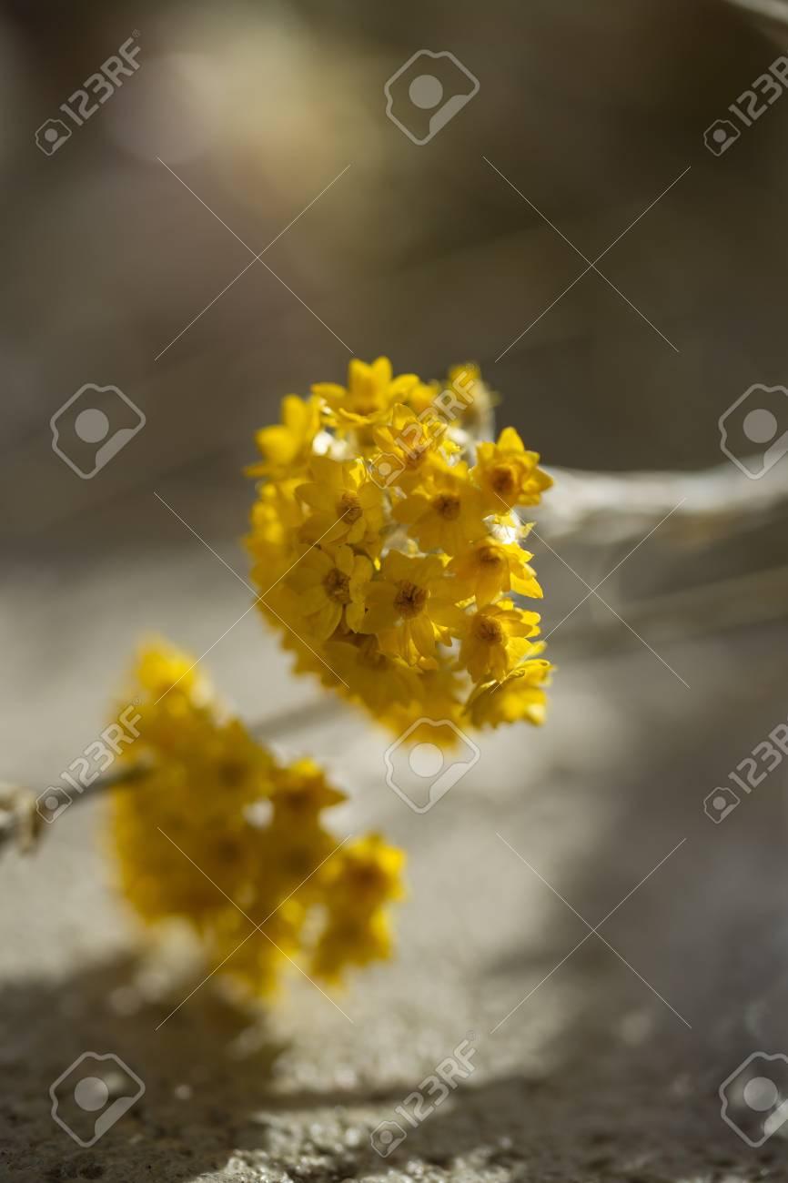 Fleur Sechee Jaune Banque D Images Et Photos Libres De Droits Image