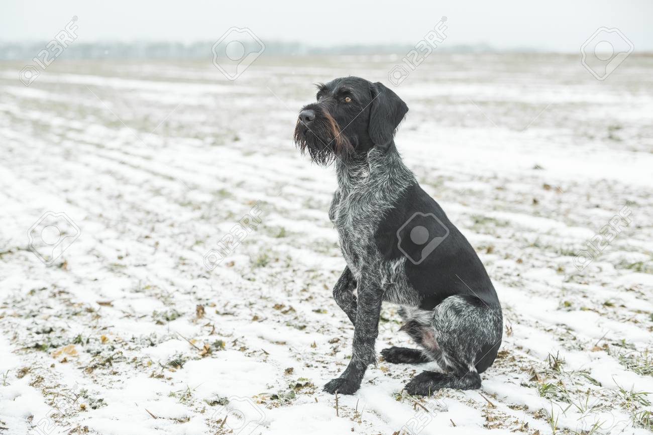 German Wirehaired Pointer Sitting On Snow-covered Field Stock Photo ...