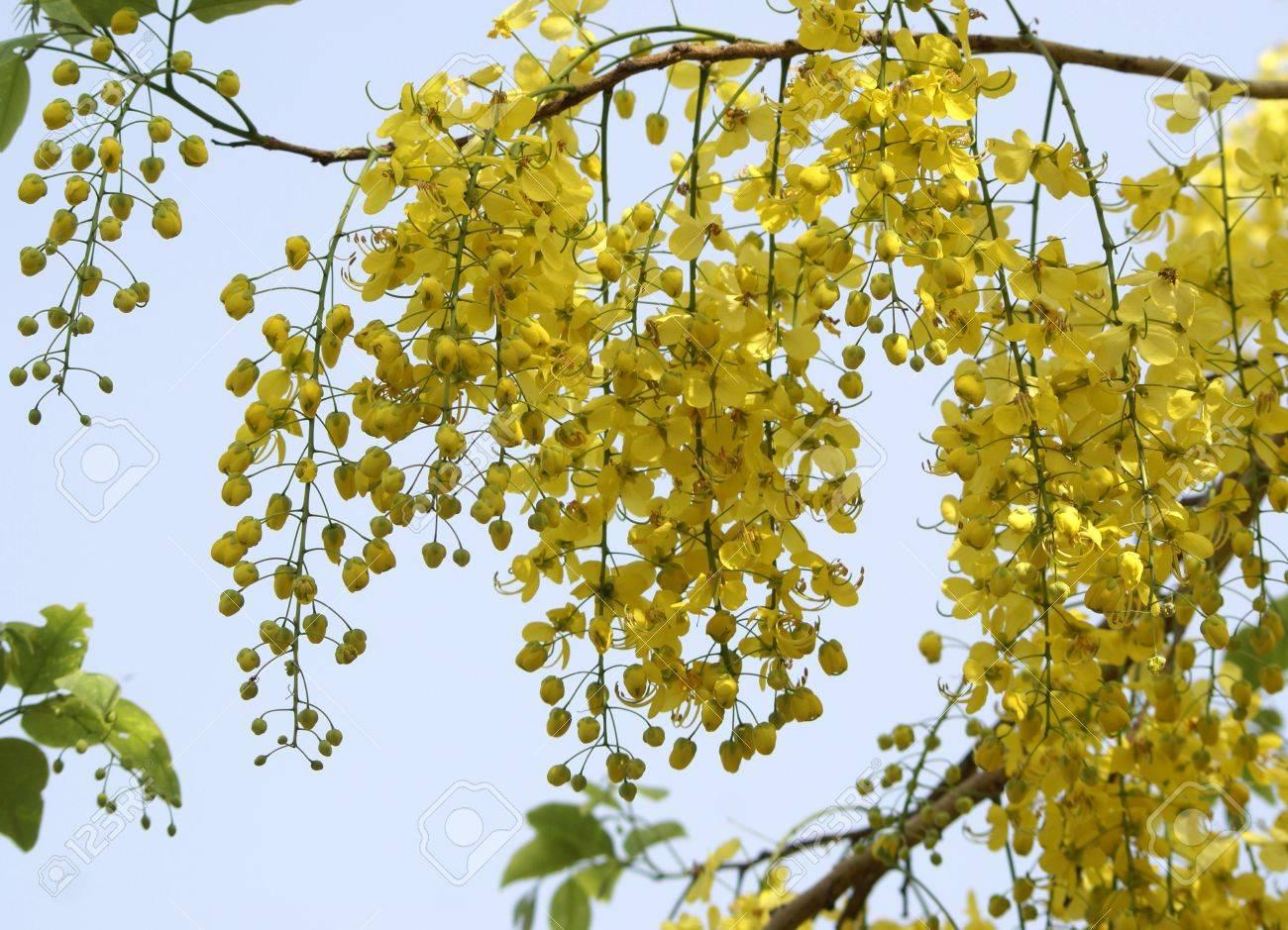 Cassia Fistule Amaltas Arbre De Floraison D Ete Commun En Fleurs