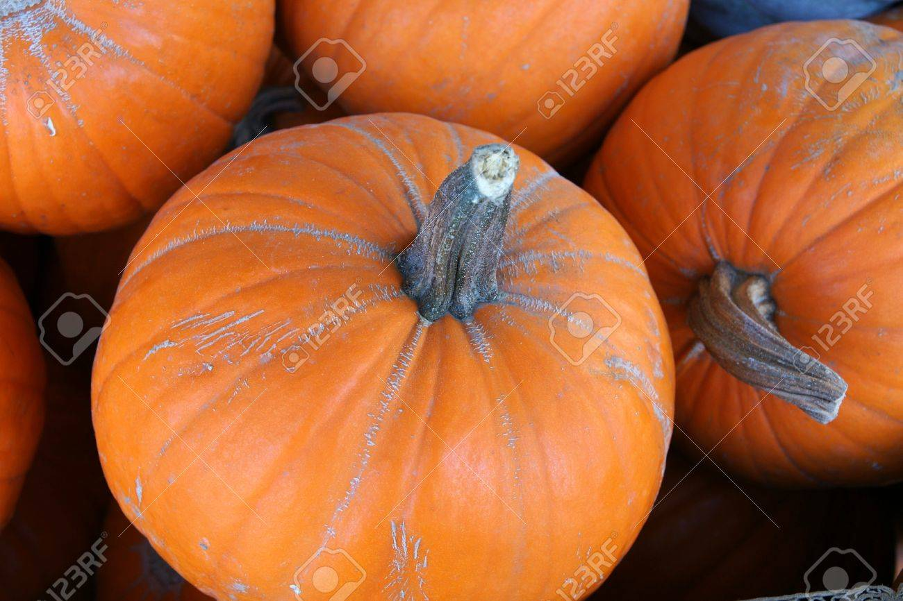 Pumpkin, Cucurbita pepo, a globose large sized pumpkin with orange grooved skin and deep orange flesh most suited for carving Stock Photo - 20103913
