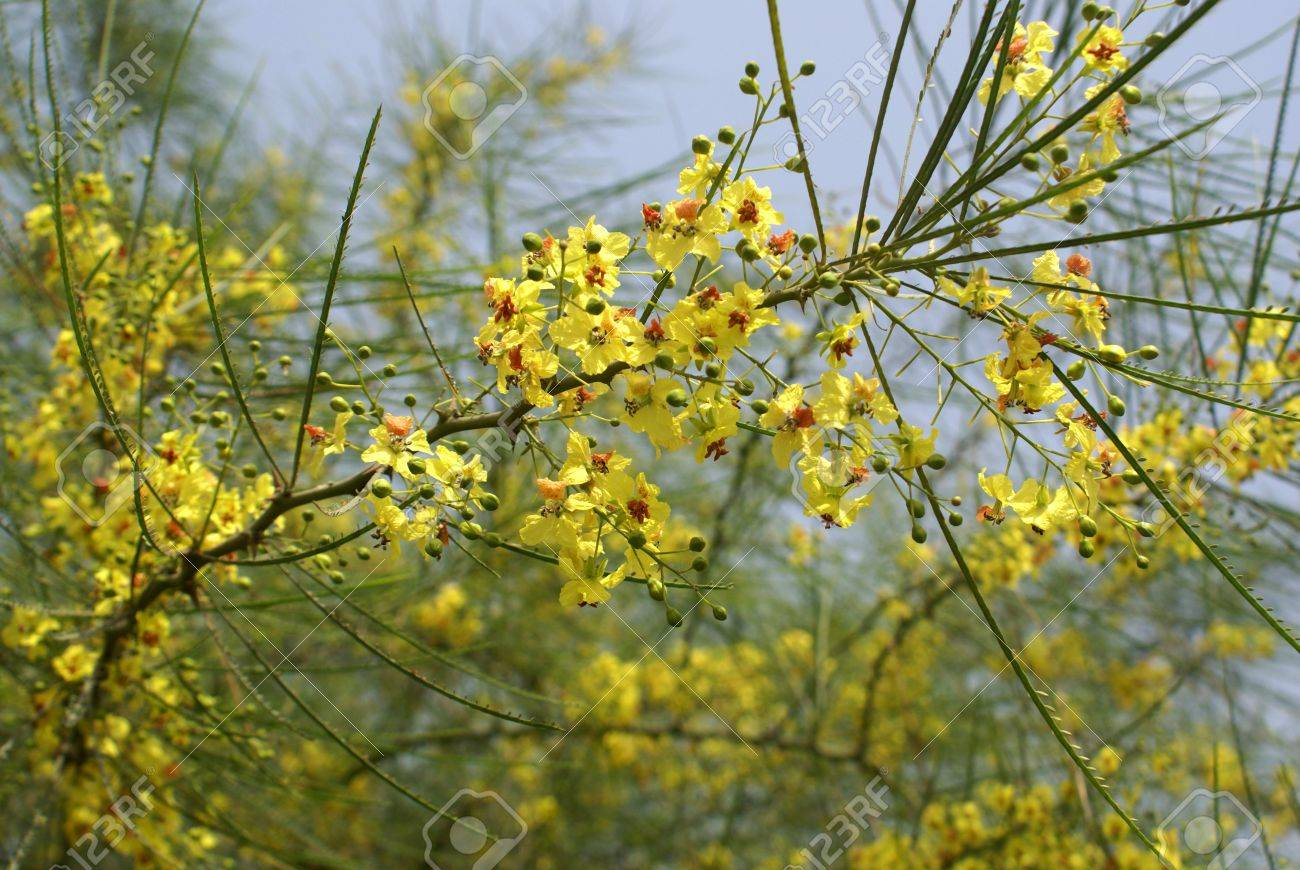 jerusalem thorn mexican palo verde parkinsonia aculuata a stock