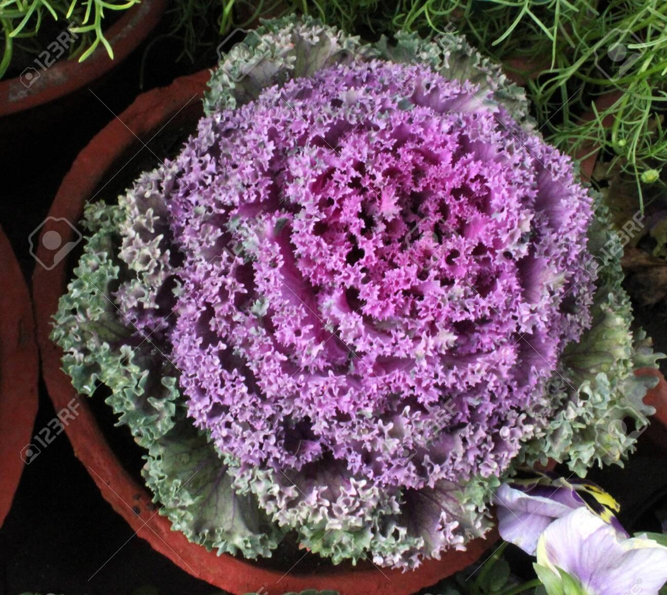 Ornamental Kale Flowering Kale Ornamental Cabbage Flowering