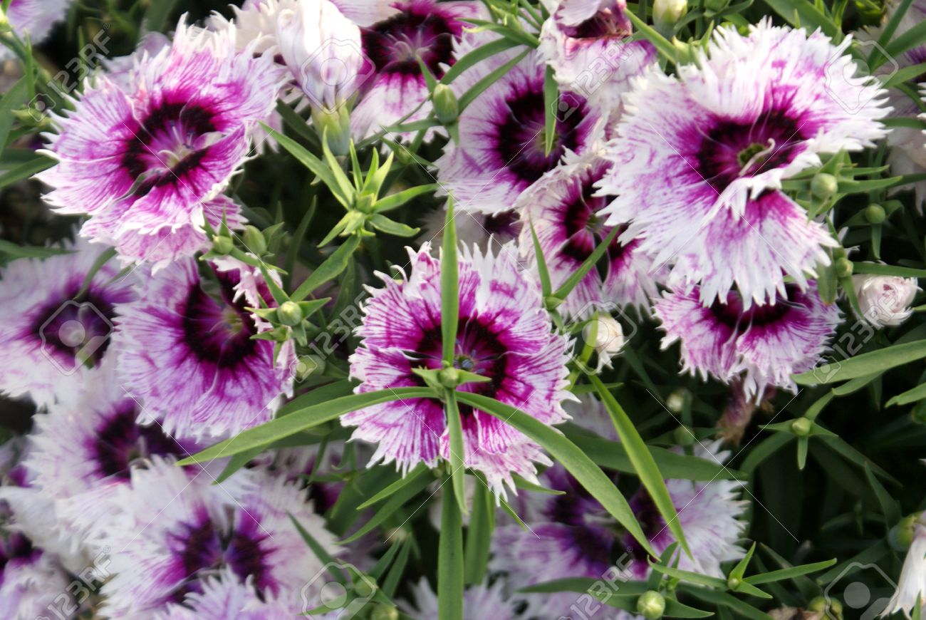 Annual Pink China Pink Japanese Pink Dianthus Chinensis Annual