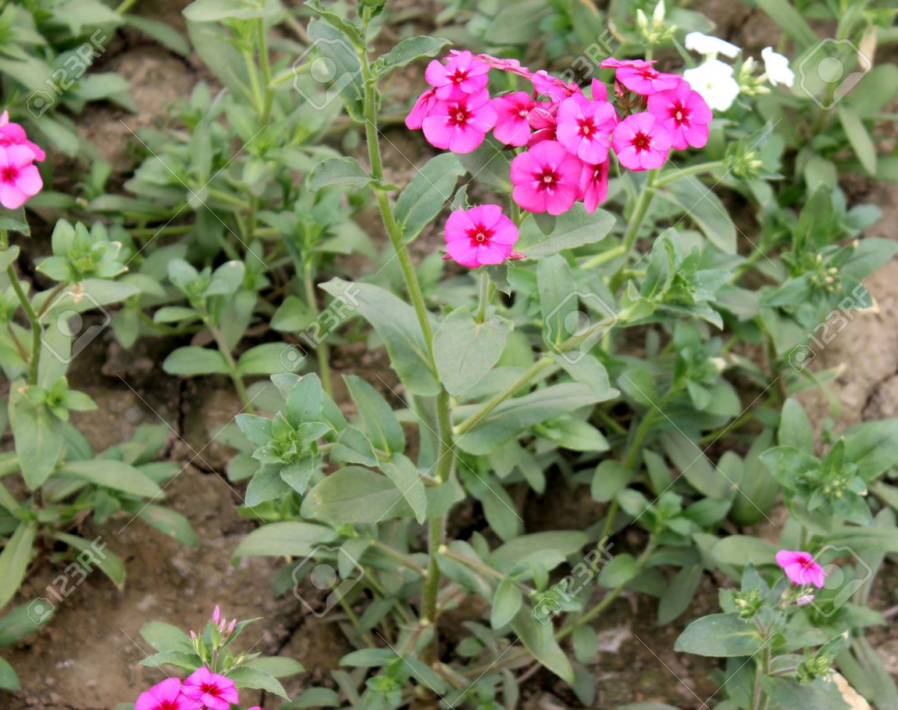 Annual phlox, Drummond s phlox, pride-of-Texas, Phlox drummondii, cultivated annual herb with rose to red flowers in terminal clusters Stock Photo - 27639105