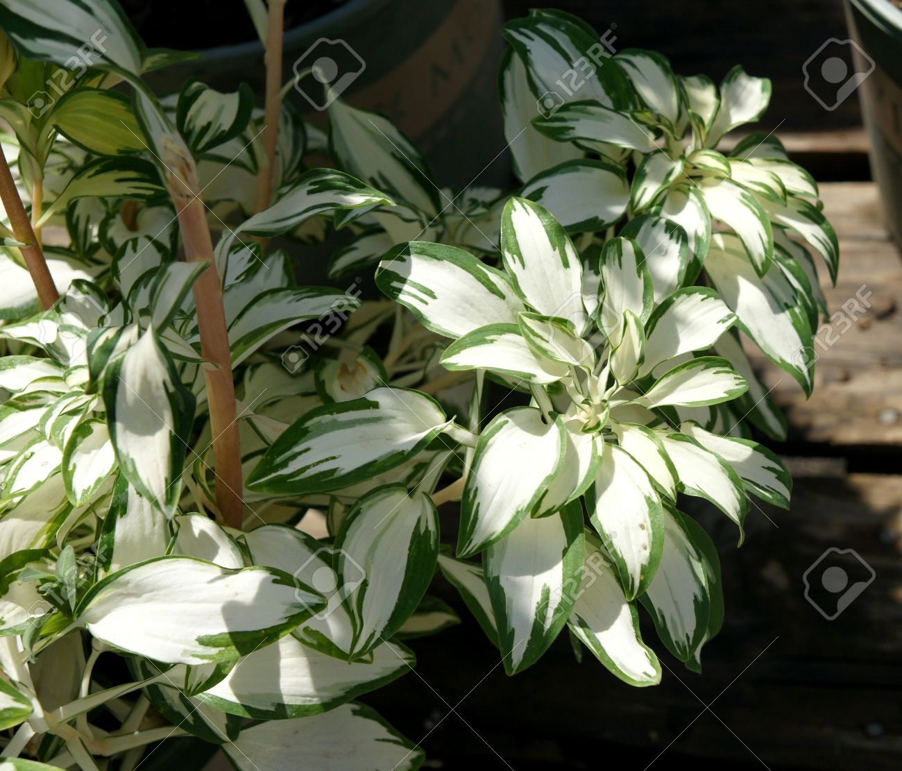 Alstroemeria Rock Roll Perennial Foliage Plant With Yellow Stock