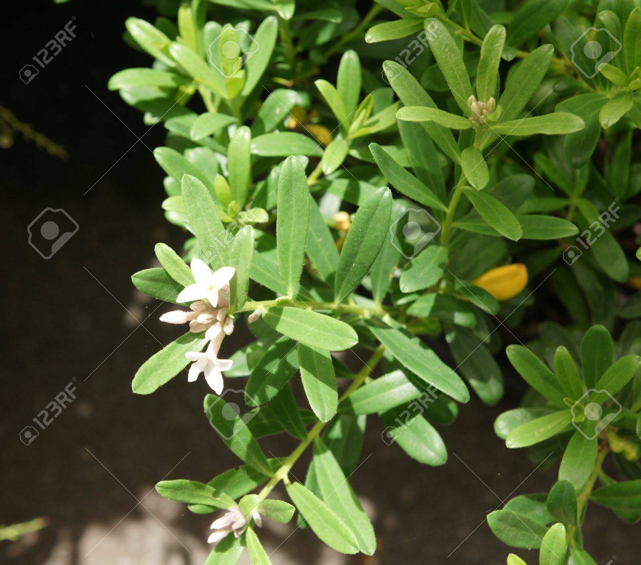 Fragrant Evergreen Daphne Daphne X Transatlantica Eternal Fragrance