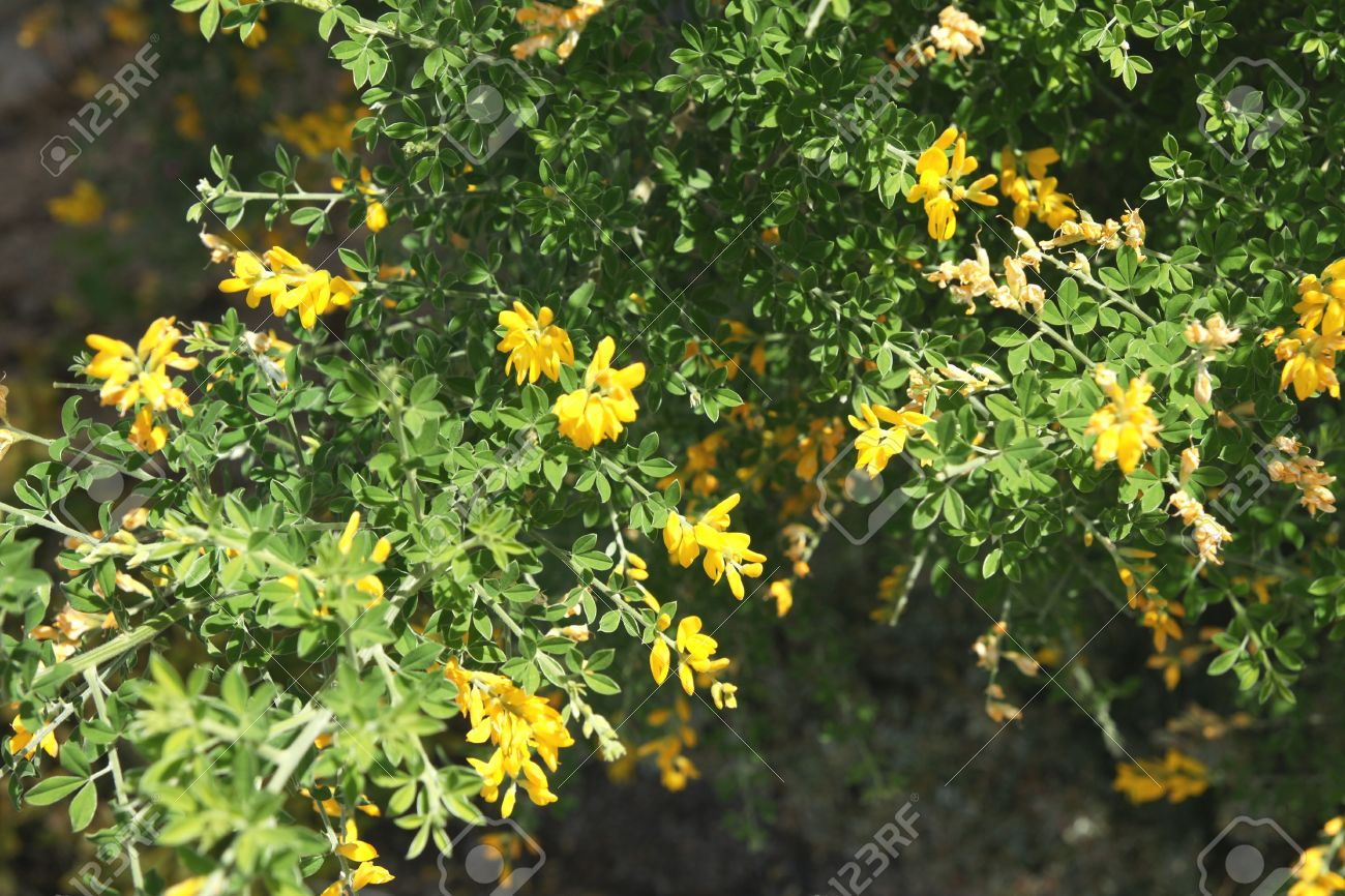Cytisus Spachianus Ornamental Shrub With Trifoliate Leaves And