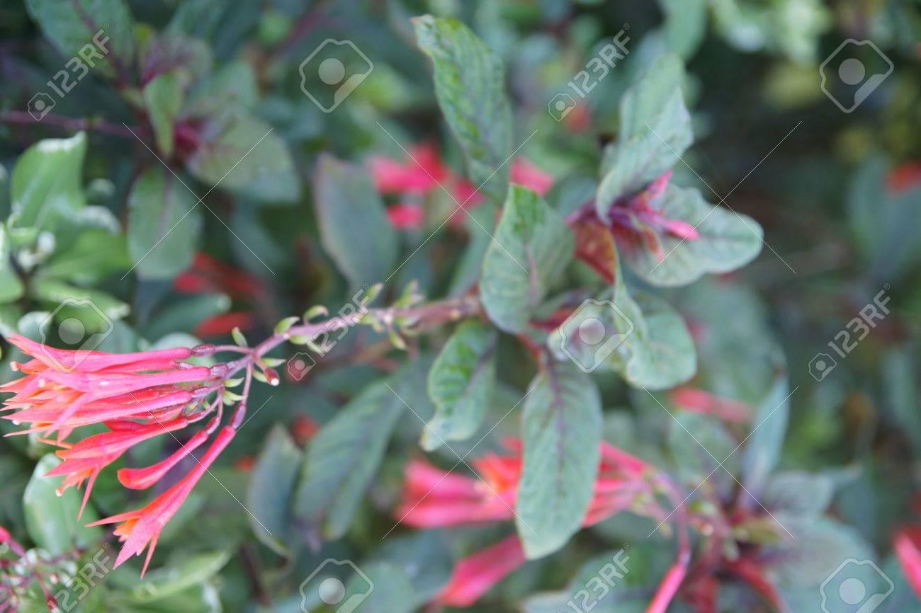 Sunset Fuchsia Fuchsia Dependens Native To Ecuador Evergreen