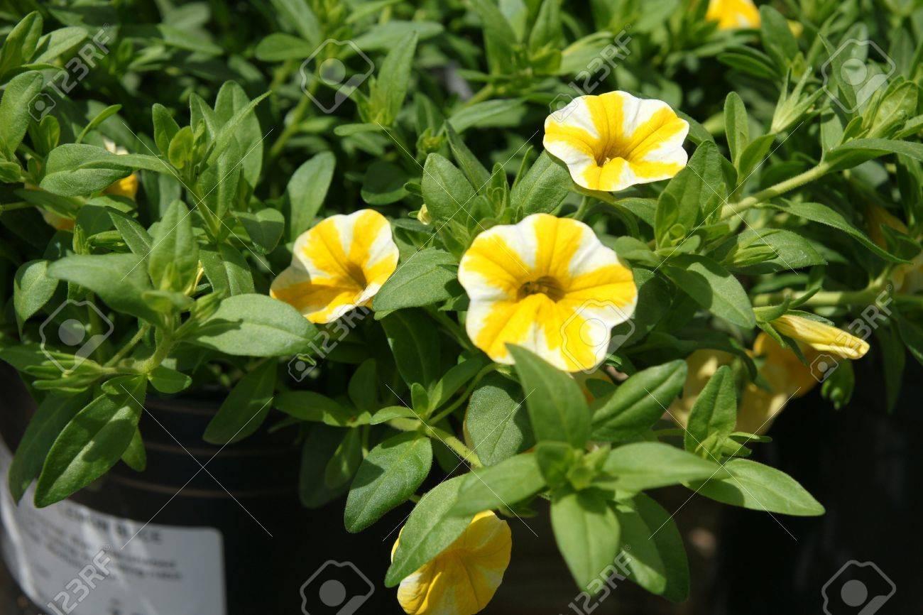 Calibrachoa superbells lemon slice ornamental herb with petunia calibrachoa superbells lemon slice ornamental herb with petunia like yellow flowers with white broad mightylinksfo