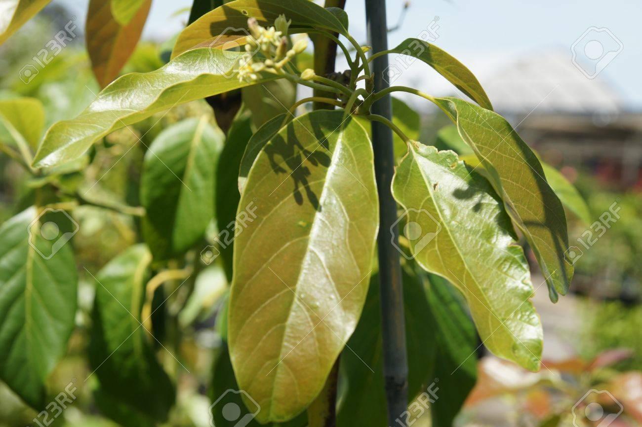 persea americana pinkerton avocat, arbre à feuilles persistantes