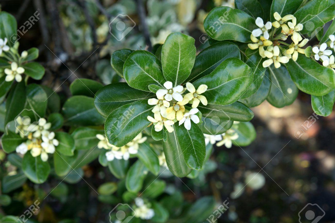 JAPANESE CHEESEWOOD Pittosporum Tobira x50 seeds Tree Flowering Mock orange bio