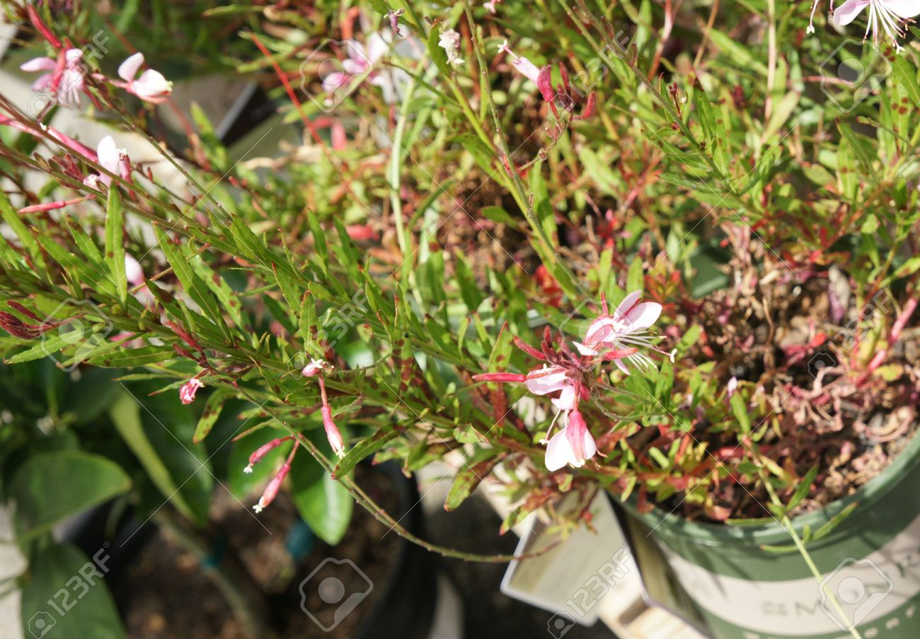 Gaura lindheimeri pink cloud herbaceous perennial with arching gaura lindheimeri pink cloud herbaceous perennial with arching red stems lance shaped leaves often mightylinksfo