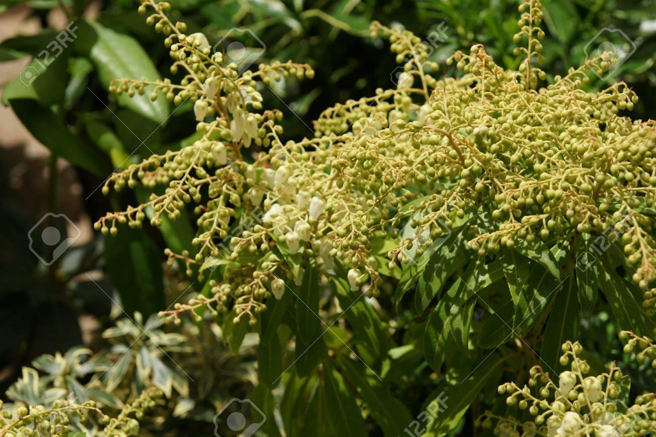 Prelude japanese pieris pieris japonica prelude mound shaped prelude japanese pieris pieris japonica prelude mound shaped evergreen shrub with pink young mightylinksfo