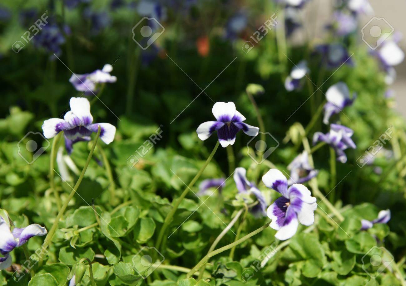 Australian Violet Viola Hederacea Delicate Small Ornamental
