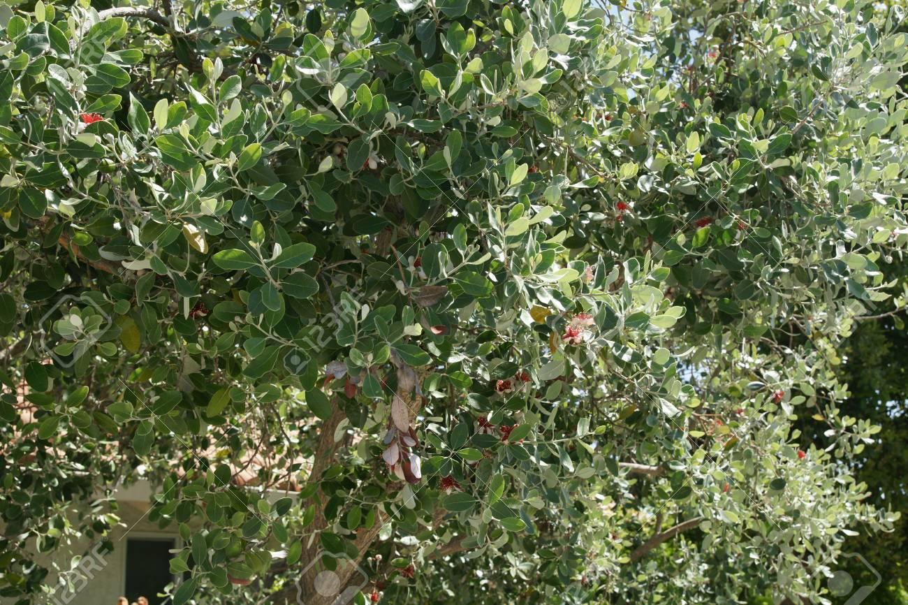Pineapple Guava Guavasteen Acca Sellowiana Evergreen Shrub