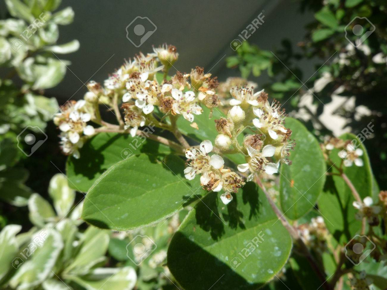 Parney S Cotoneaster Cotoneaster Lacteus Evergreen Shrub With