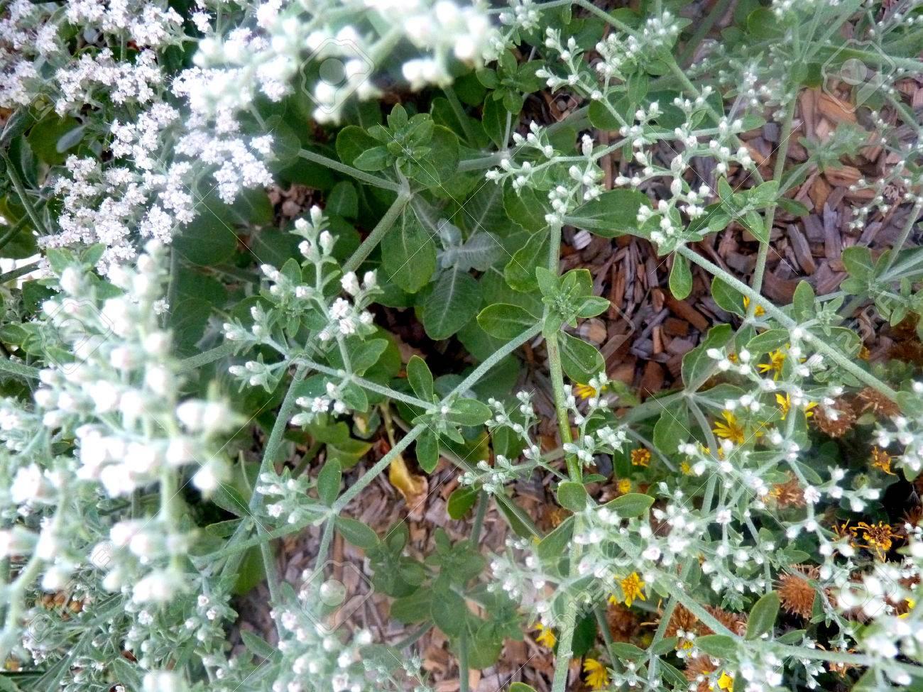 Eriogonum Giganteum St Catherine S Lace Hemispherical Evergreen