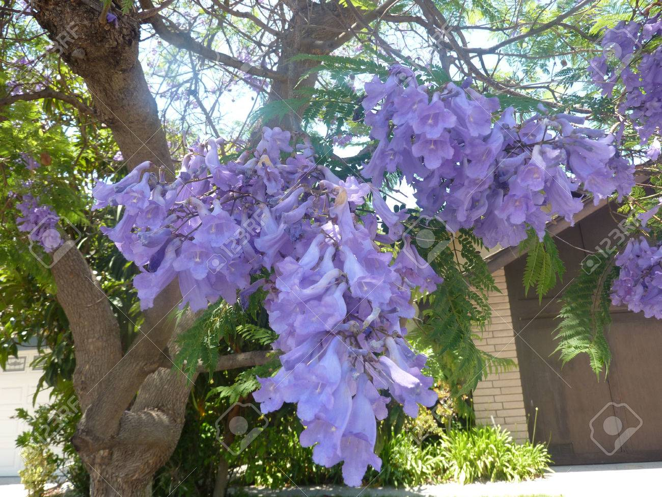 Jacaranda blue jacaranda jacaranda mimosifolia large tree stock jacaranda blue jacaranda jacaranda mimosifolia large tree with bipinnate compound leaves with small izmirmasajfo