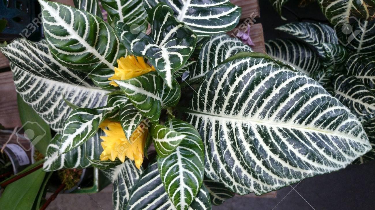 Zebra Anlage Aphelandra Squarrosa Ziermehrjahrige Pflanze Mit