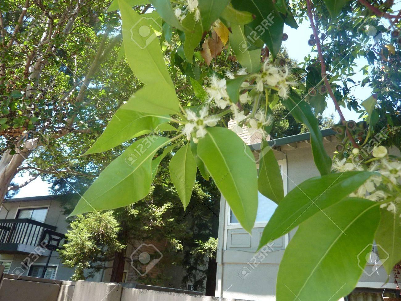 Queensland Box Brisbane Box Lophostemon Confertus Evergreen