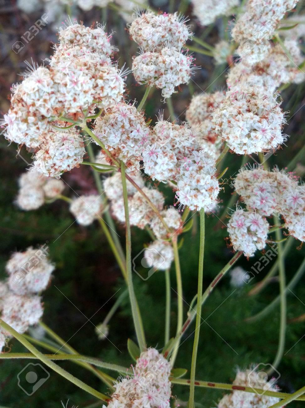 Californian Buckwheat Eriogonum Fasciculatum Perennial Shrub