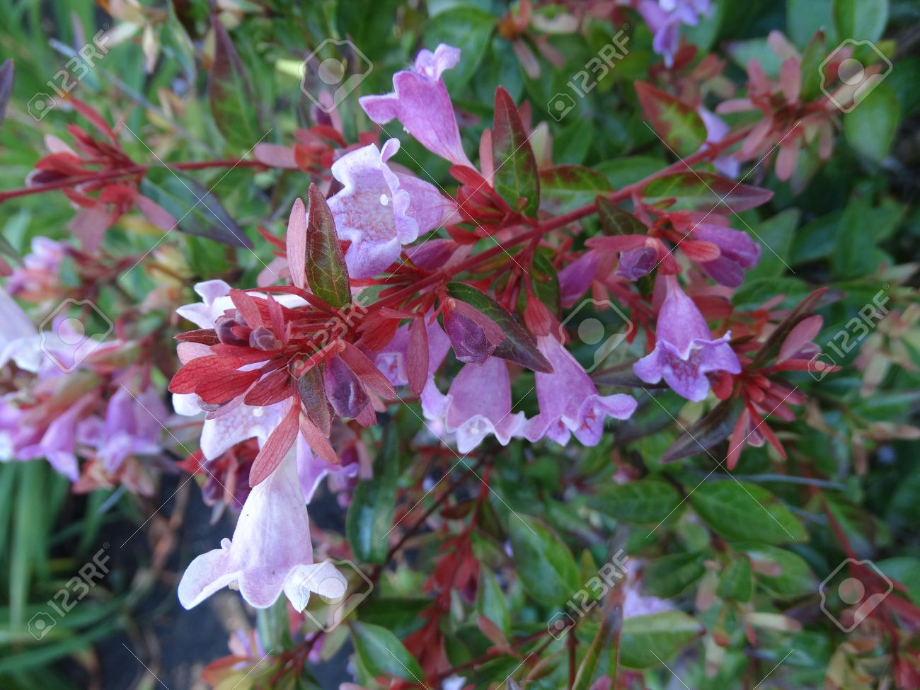 Shrubs with purple flowers at end of branch - Engler Abelia Abelia Angeleriana Semi Evergreen Shrub With Arching Branches Ovate Bright