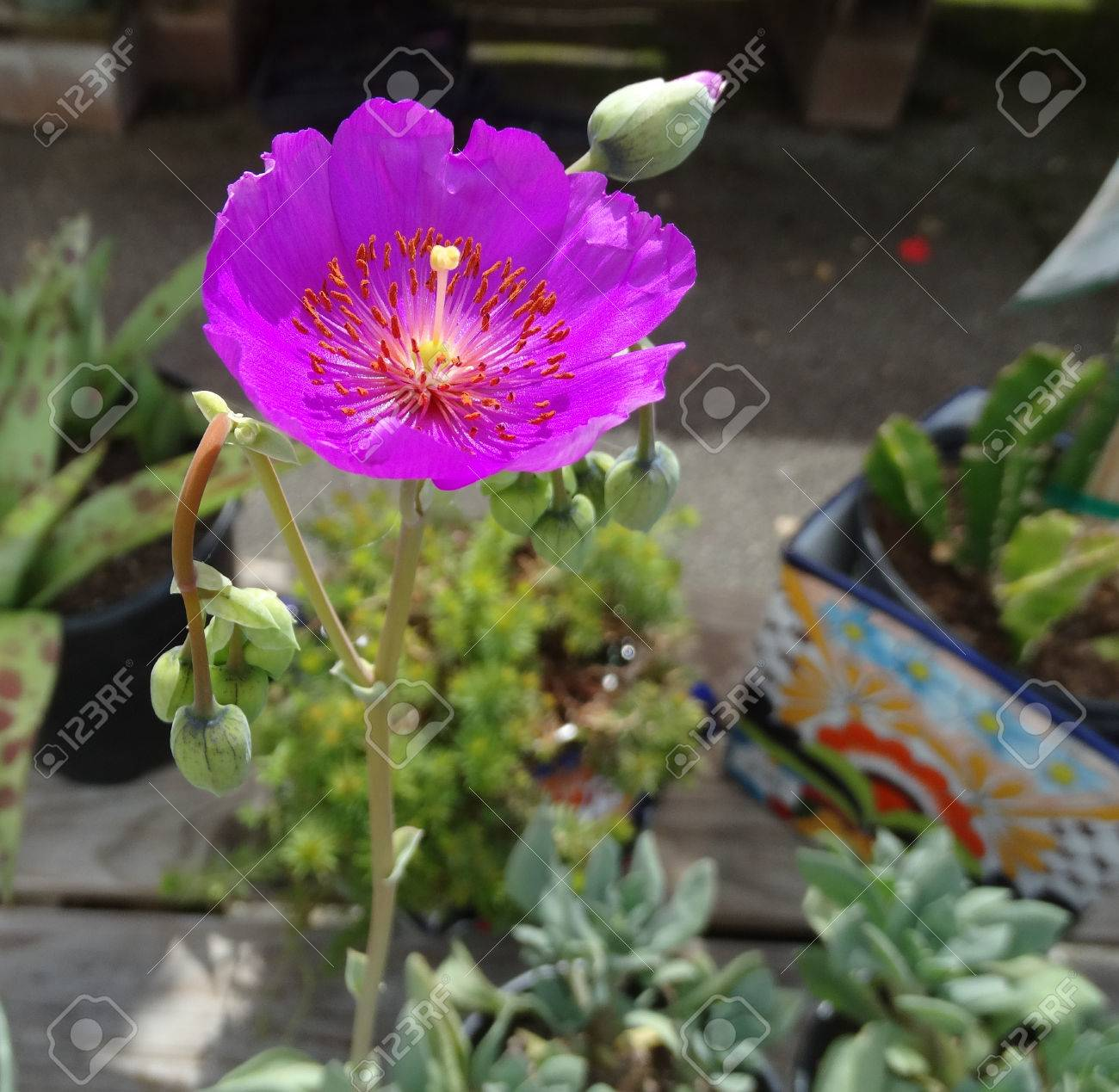 Purple Poppy Like Flowers Stock Photo Picture And Royalty Free