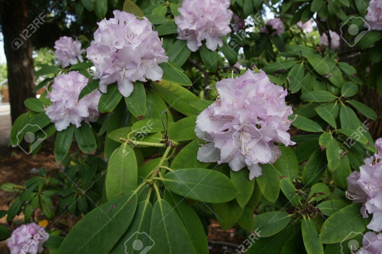 Rhododendron Pale Pink Shrub Or Small Tree With Lanceolate Elliptic