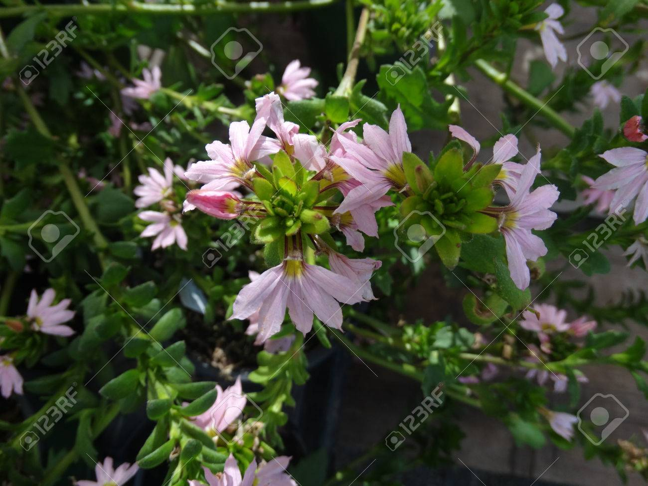Scaevola aemula bombay pink semitrailing annual with bright stock scaevola aemula bombay pink semitrailing annual with bright green leaves and fan shaped pink flowers izmirmasajfo