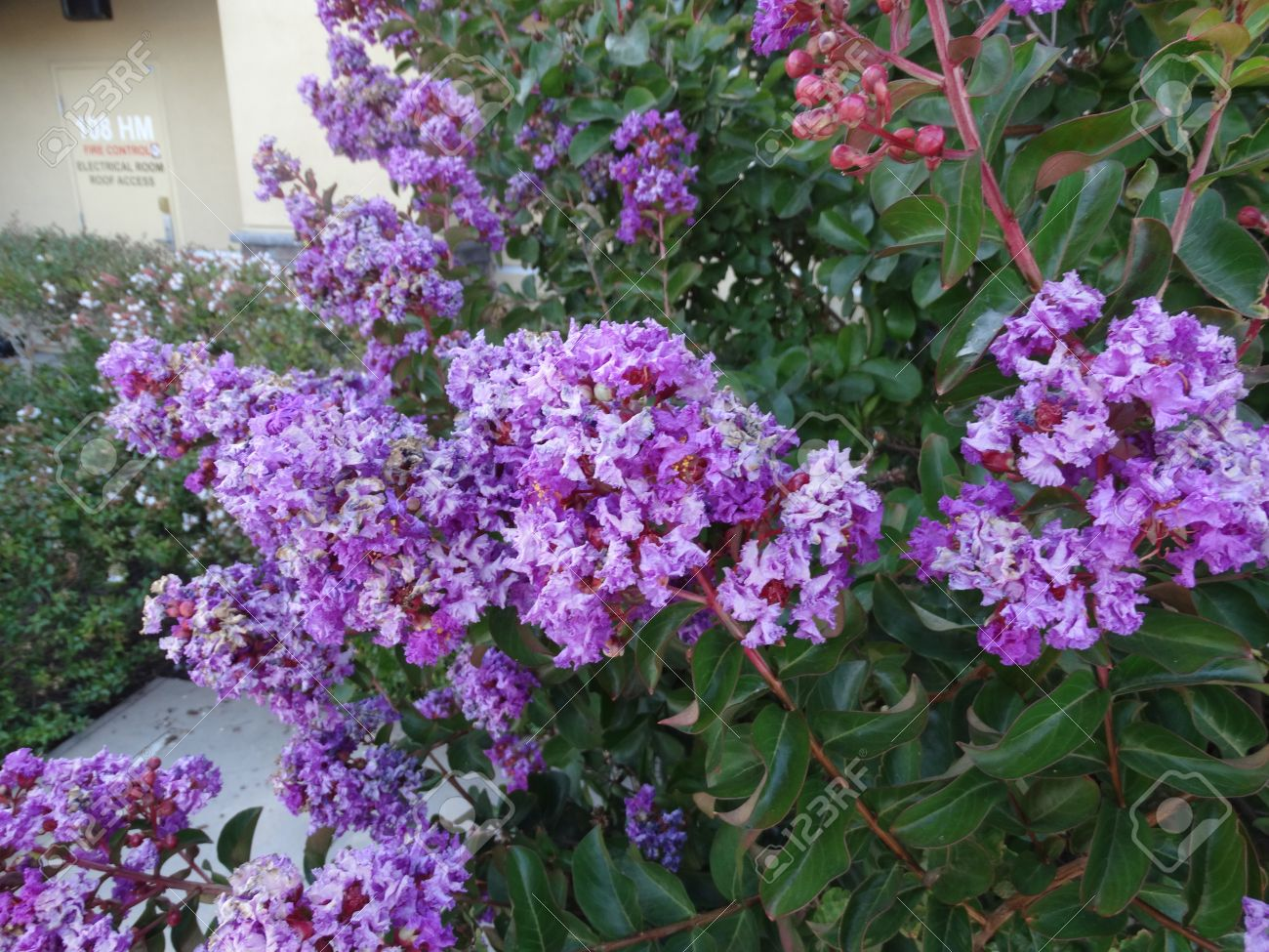 Lagerstroemia Indica Purple Cultivar With Purple Flowers Small