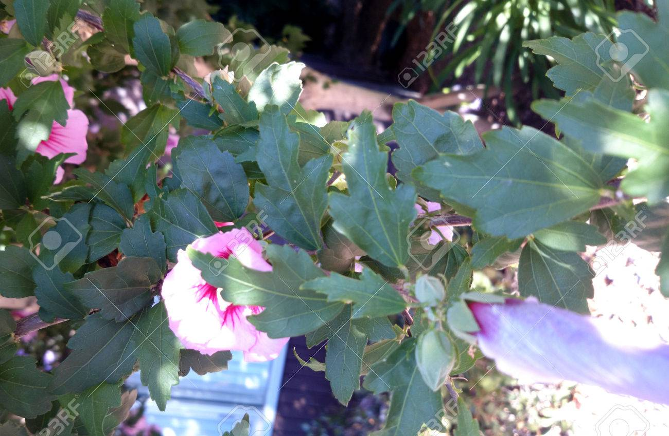 Hibiscus Syriacus Rose Of Sharon Deciduous Shrub With Lobed