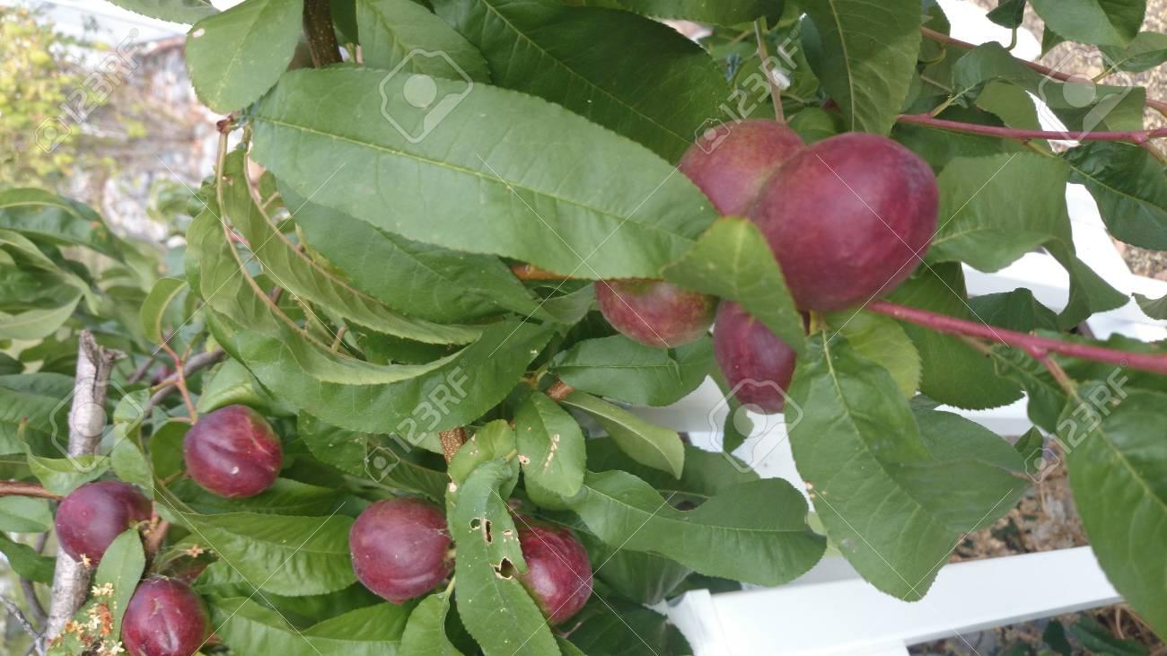Prunus Persica Tree Prunus Persica Nucipersica
