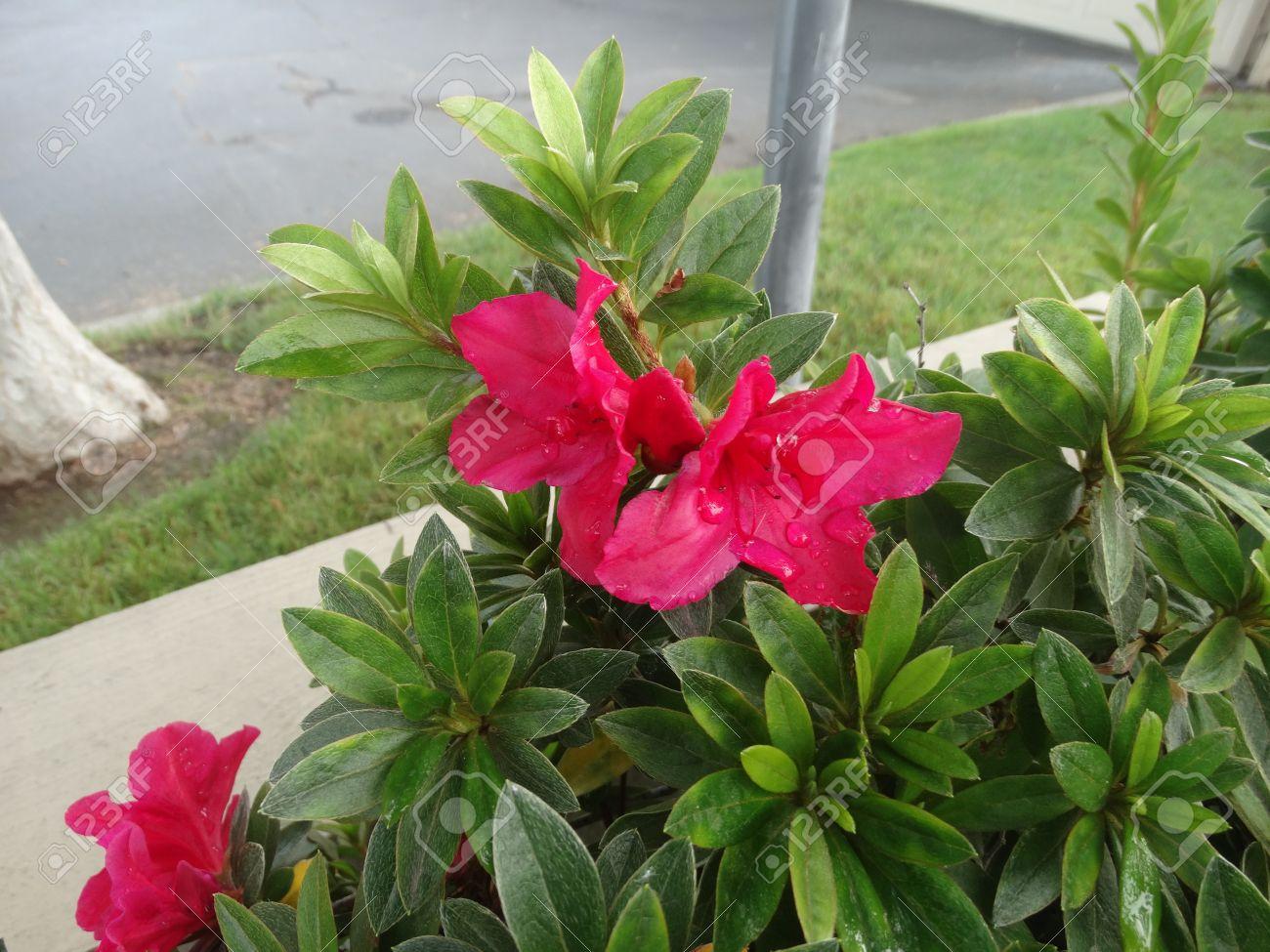 Rouge Rhododendron Arbuste Persistant A Petit Arbre A Feuilles