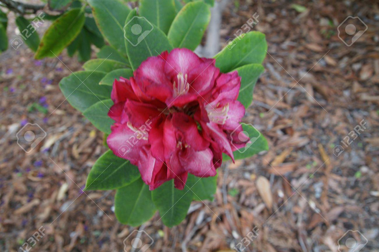 Red Rhododendron Evergreen Shrub To Small Tree With Elliptic